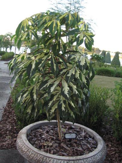 Variegated Tapioca (Manihot esculenta (Bitter Cassava))