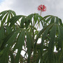 Coral Plant (Jatropha multifida (Physic Nut))