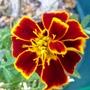 Marigold (Tagetes patula (French marigold))