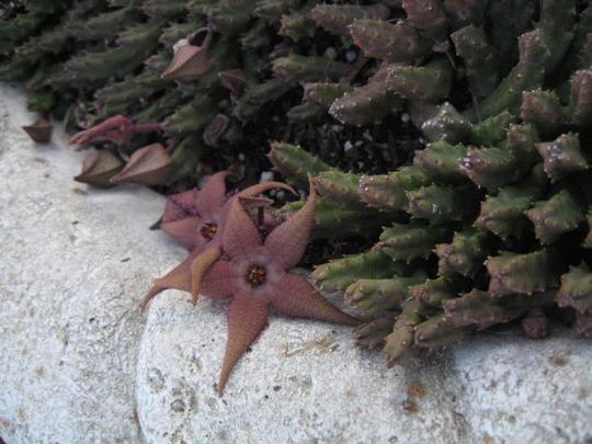 Star Flower Carrion plant (stapelia)