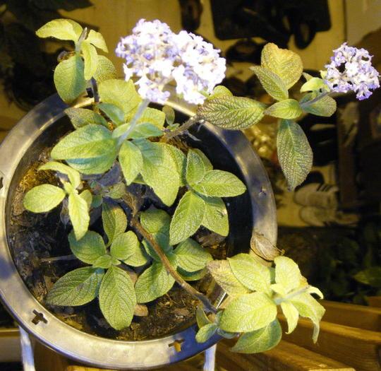 Heliotrope (Heliotropium arborescens (Fragrant delight))