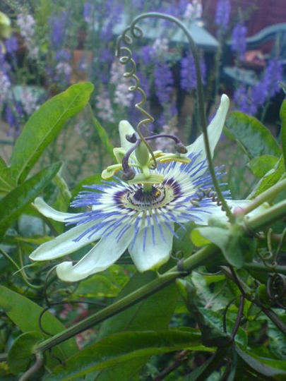 passionflower (Passiflora caerulea (Passion flower))