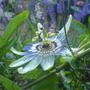 passionflower (Passiflora caerulea (Passion flower))