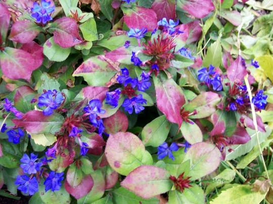 Autumn Blue (Ceratostigma plumbaginoides)