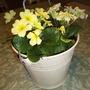"Planter with primrose ""Emily"""