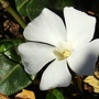 Vinca (Vinca minor (Lesser periwinkle))
