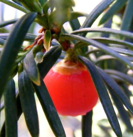Yew berry (Taxus baccata (Yew))