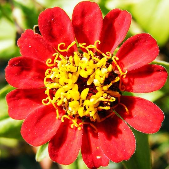 Zinnias still flowering. (Zinnia elegans (Zinnia))