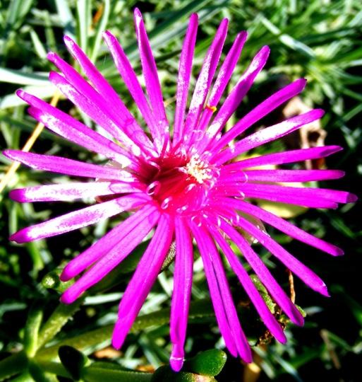 Delosperma (Delosperma cooperi (Hardy Ice Plant))