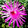 Delosperma (Delosperma cooperi (Hardy Ice Plant))
