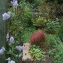 Ceanothus_gloire_de_versailles_autumn_flowering