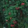Tropaeolum speciosum (Tropaeolum speciosum)