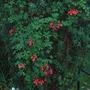 Tropaeolum speciosum (Tropaeolum speciosum)