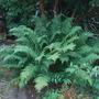 Unnamed fern