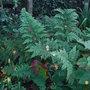 Dryopteris dilatata 'Crispa Whiteside' (Dryopteris dilatata)