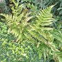 Dryopteris erythrosora