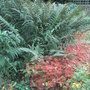 Polystichum species