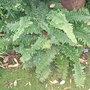Polystichum setiferum 'Plumosum Densum' (Polystichum setiferum)