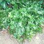 Asplenium scolopendrium 'Cristatum' (Asplenium scolopendrium)