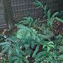Dryopteris sieboldii (Dryopteris sieboldii)