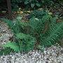 Polystichum setiferum 'Congestum' (Polystichum setiferum)