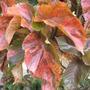 Mottled Chenille Plant