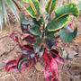 Colorful Croton (Euphorbiaceae)