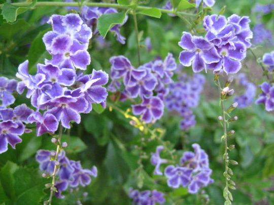 Small Purple Flowers (Duranta repens)