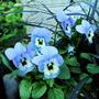 Violas in the pots of Tete a Tete daffs