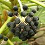 Fatsia japonica seeds