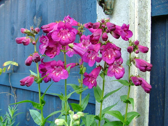 Penstemon Sensation mixed from seed