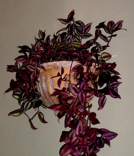 Another import... was happy outdoors  (tradescantia)