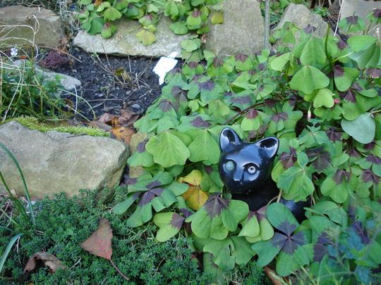 One eyed cat (Oxalis tetraphylla (Good Luck Leaf))