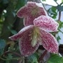 Clematis cirrhosa