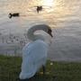White Swan at the Lake