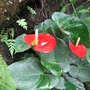 Anthuriums at the Formal Garden