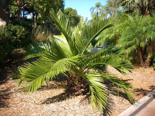 Jubaea chilensis - Chilean Wine Palm (Jubaea chilensis - Chilean Wine Palm)