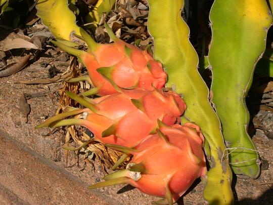 Hylocereus undatus - Dragon Fruit (Hylocereus undatus - Dragon Fruit)
