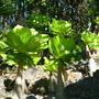 Brighamia insignis - Alula, Hawaiian Palm (Brighamia insignis - Alula, Hawaiian Palm)