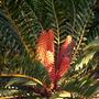 Encephalartos ferox - Cycad (Encephalartos ferox - Cycad)