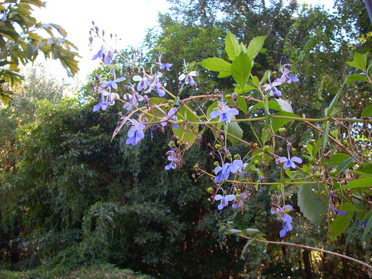 Clerodendron ugandense - Butterfly Clerodendrum (Clerodendron ugandense - Butterfly Clerodendrum)