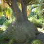 Beaucarnea Recurvata - Ponytail Palm Trunk (Beaucarnea Recurvata - Ponytail Palm Trunk)