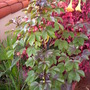 Jatropha gossypifolia - BellyAche Bush (Jatropha gossypifolia - BellyAche Bush)
