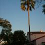 Brahea brandegeei - San Jose Hesper Palm (Brahea brandegeei - San Jose Hesper Palm)