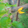 Juanaloa mexicanum - no common name (Juanaloa mexicanum - no common name)