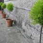 My 4 Standard Conifers
