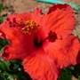 Hibiscus Flamingo - Wind Orange (Hibiscus cannabinus)