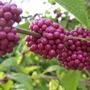 Beautyberry (Callicarpa americana)