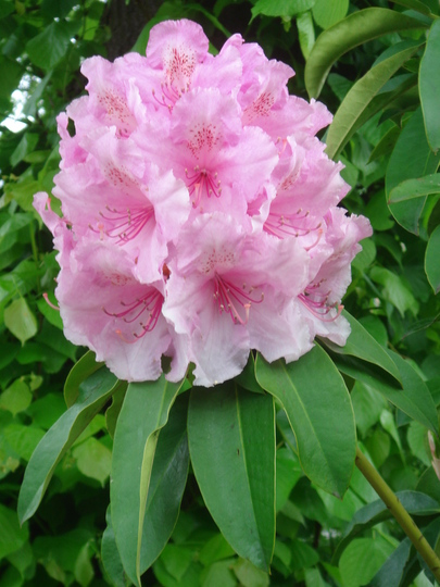 Rhododendron May 2007 (Rhododendron racemosum)