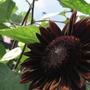 Chocolate Sunflower (Helianthus annuus (Sunflower))